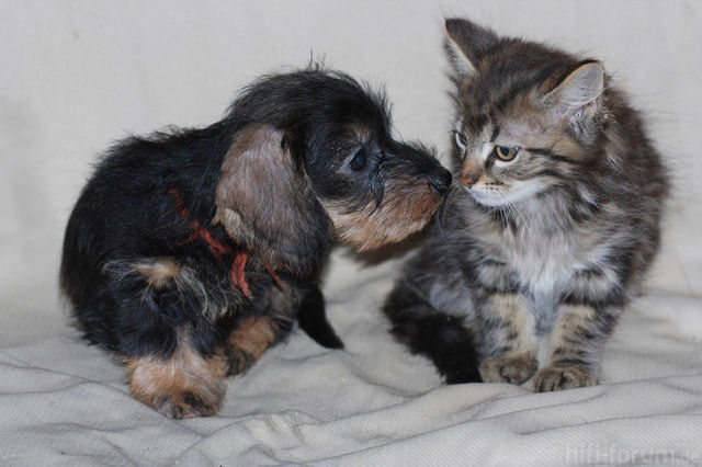 Dackel Mit Katze