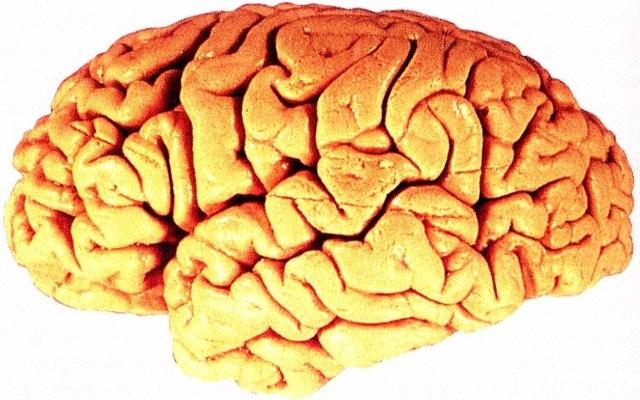 Hirn Gehirn