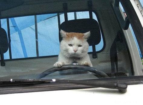 Katze Am Steuer