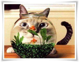 Katzegoldfisch