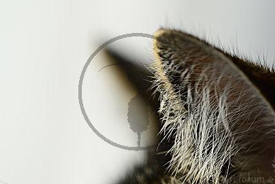 Ohrenhaare