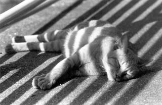 Zebra Katze