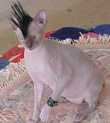 Punk Katze