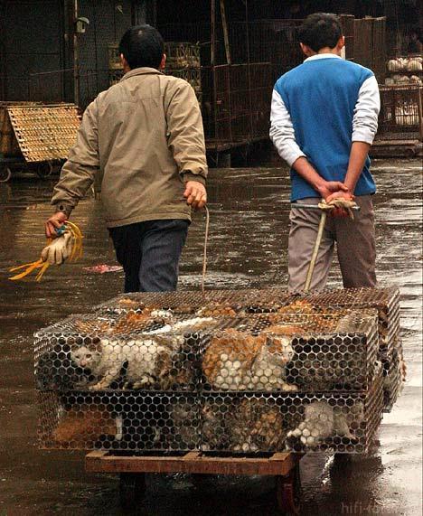 Uh60967,1271421854,china Schlachtet Tausende Katzen Fur Olympia