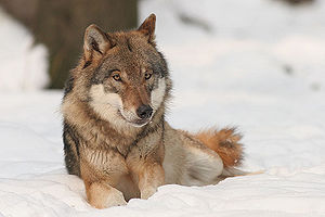 300px Canis Lupus