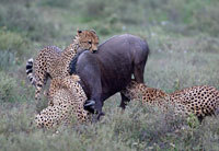 Cheetas Killing Wildebeest