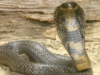 Cobra Ini
