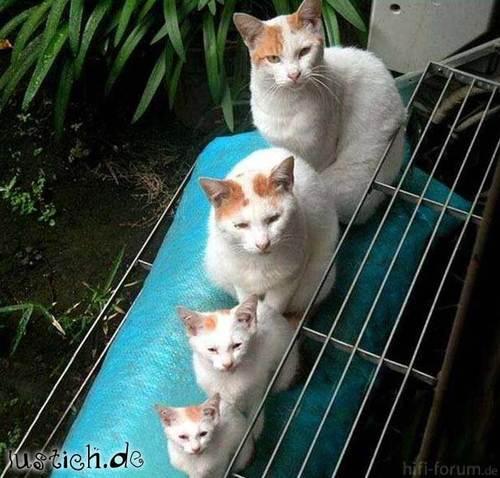 912 Orgelpfeifen Katzen