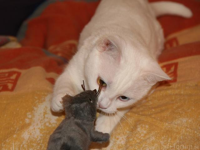 Taube Katzen Eignen Sich Nicht Als Akustiger